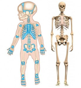 skelet-novorozhdjonnogo-i-vzroslogo