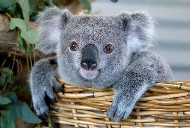 04_koala