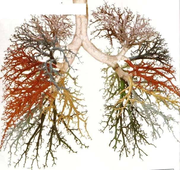 bronhialnoe-derevo