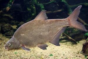 leshs-ryba-donnaja