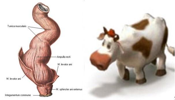 rectum-i-korova