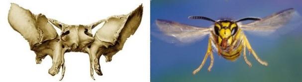 os-sphecoideum-osa